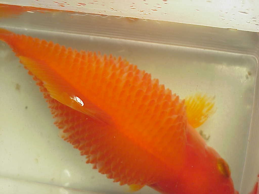 I have a large fancy goldfish his scales are puffy he also for Pond fish diseases