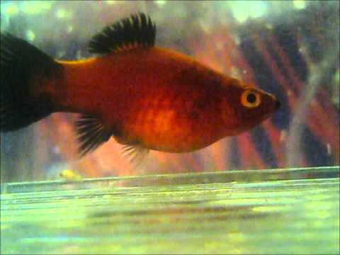 Platies general help tropical fish keeping aquarium for Pregnancy and fish