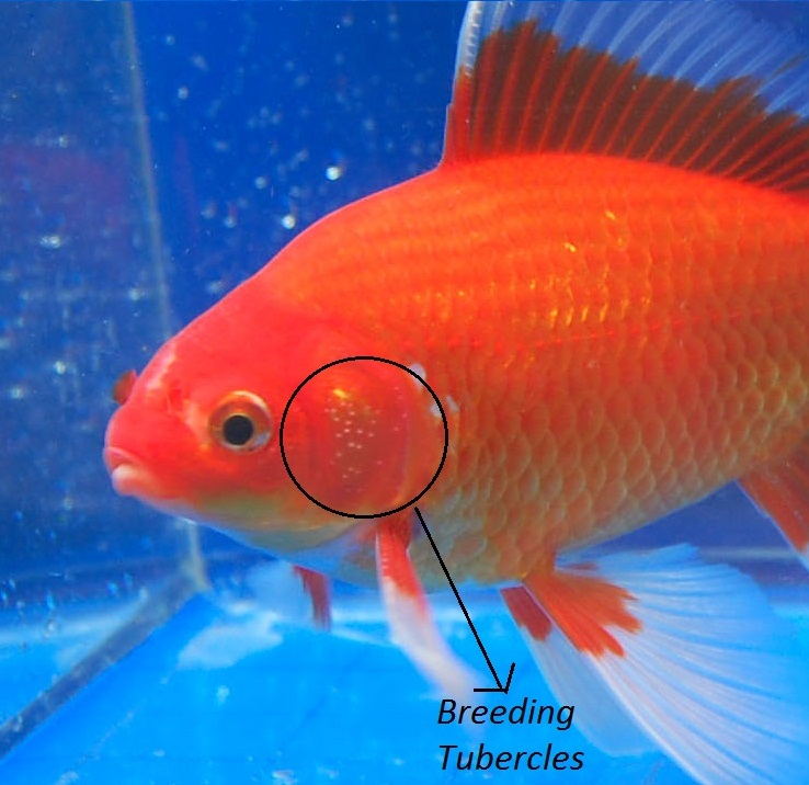 My Blackmoore has two big white dots on his head. He has ...