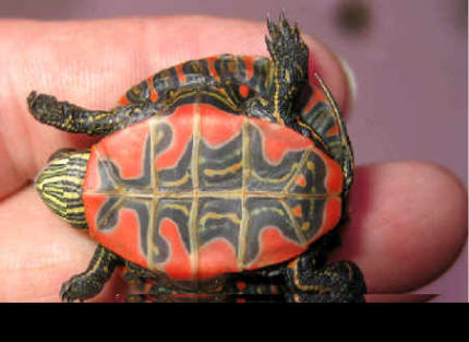 My baby yellow bellied slider won't eat much if at all i ...