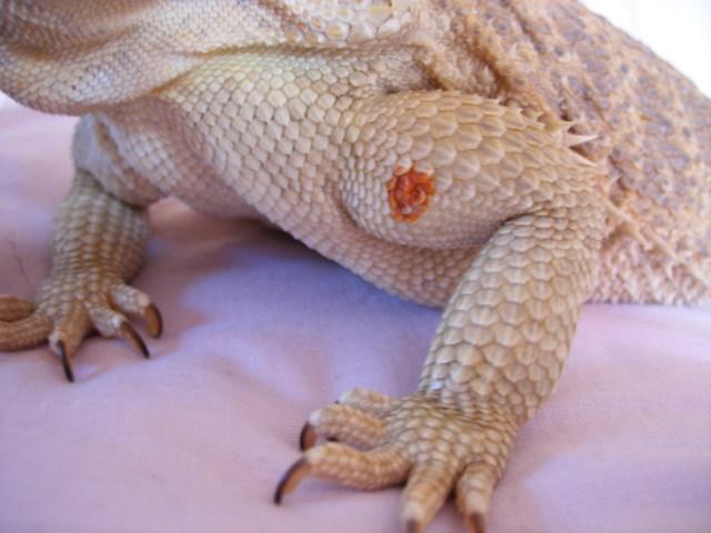 Bearded Dragon 3