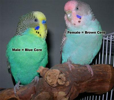 Campioni di cialis, cialis libero - Birdtricks Negozio
