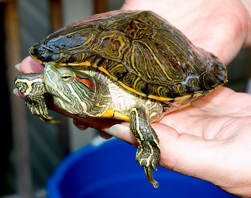 how to tell the gender of a red eared slider