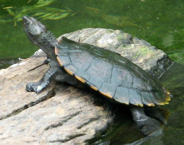 have had a fresh water turtle for a year now..its very small
