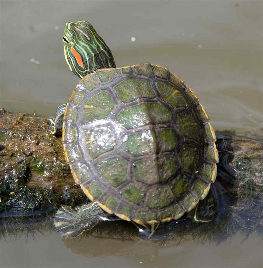 Pin Squirt The Red Ear Slider Turtle Tank Set Up on Pinterest