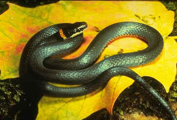 Black Snake with Yellow Rings