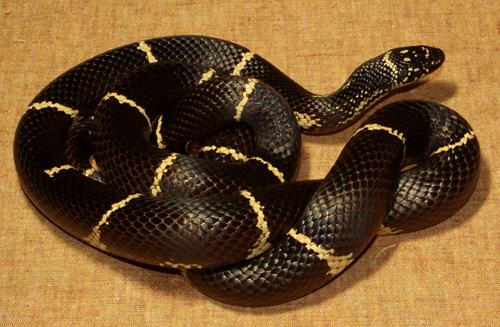 Georgia Black Snake With Yellow Rings