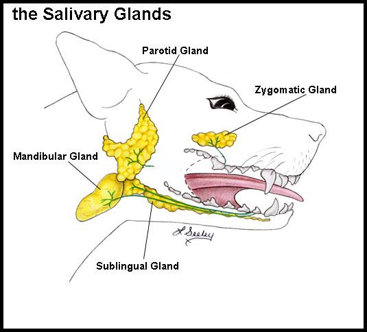 Dog Salivary Gland
