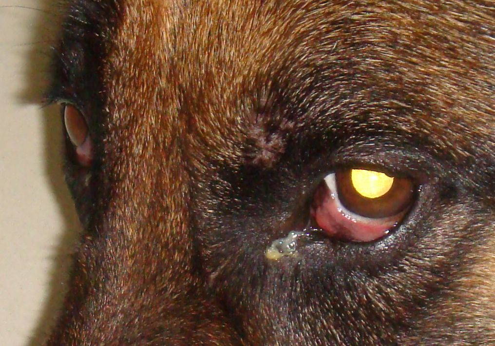 Mucus Buildup In Dogs Eyes