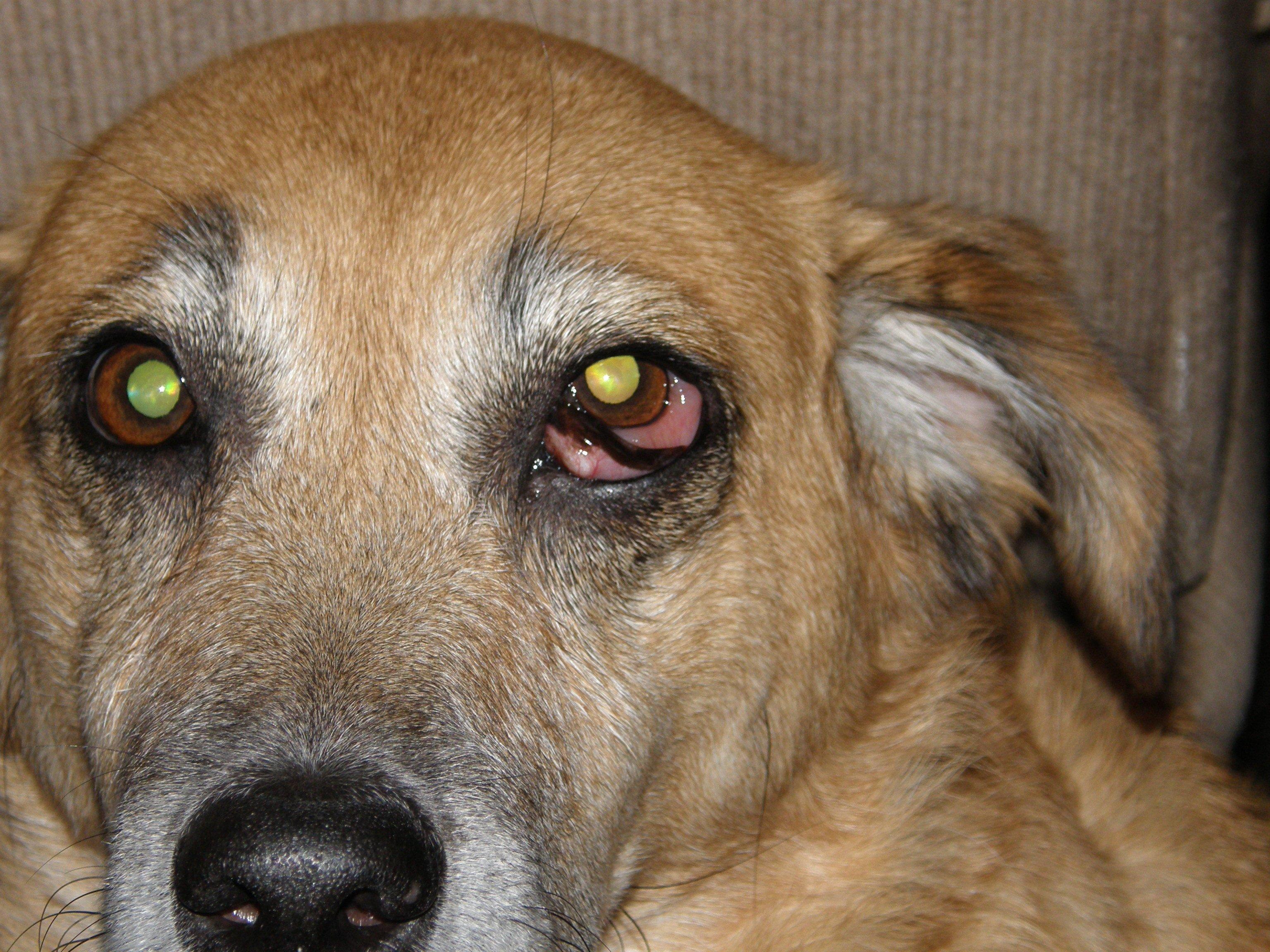 Swollen Shut Eye On Dog