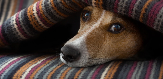 A worried dog hides under a blanket